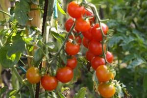 pianta_pomodori